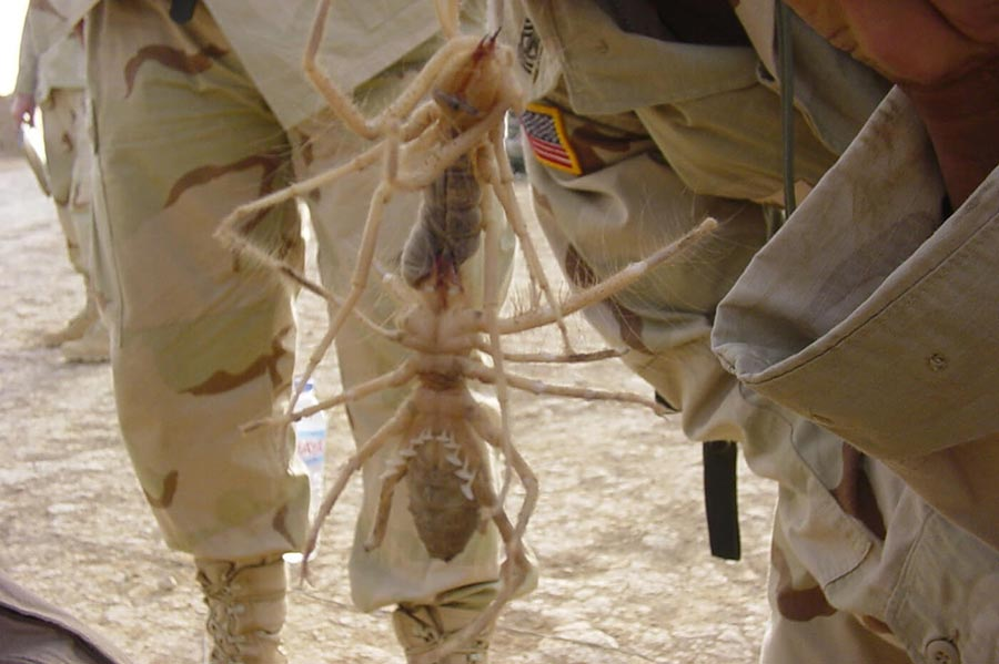 fausse camel spider