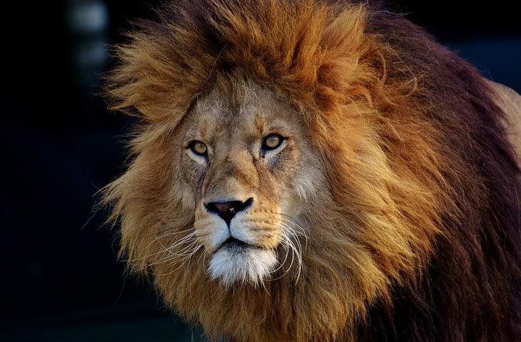 rugissement lion