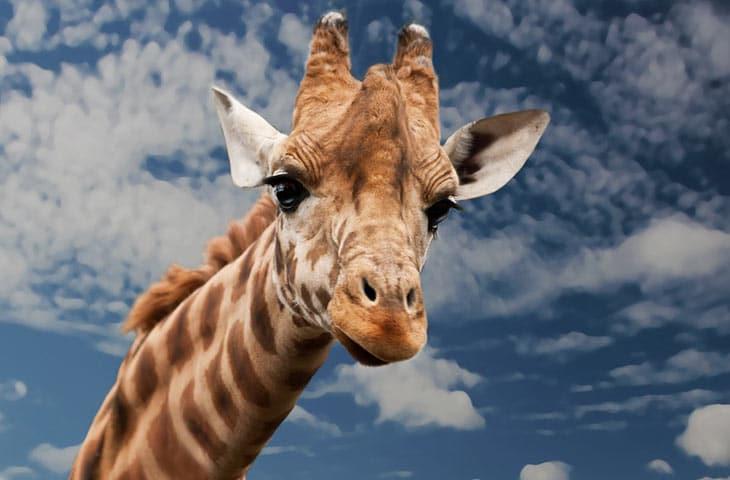Vertèbres cervicales : Le même nombre entre humains et girafes